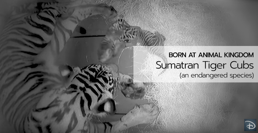 Sumatran Tiger Cubs are Born at Disney's Animal Kingdom by Sohni, a Highly Endangered Species