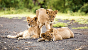 "Walt Disney Company and Wildlife Conservation Network's Lion Recovery Fund Announce The Lion King ""Protect the Pride"" Campaign"